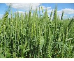 Пшениця озима Нота Одеська