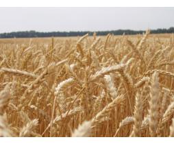 Пшеница озимая Практик