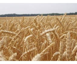 Пшениця озима Практік