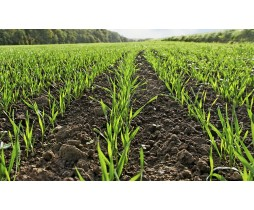 Пшениця озима Ржт Реформ