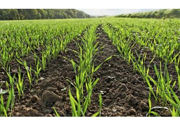 Пшеница озимая РЖТ Реформ