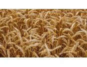 Пшениця озима Ребелл