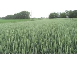 Пшеница озимая Риверо