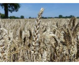 Пшениця озима Ахім