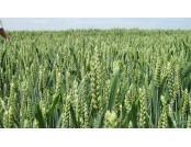 Пшеница озимая Мескаль