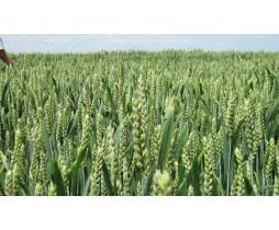 Пшениця озима Мескаль