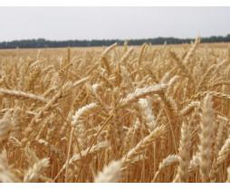 Пшеница озимая Франц