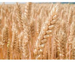 Пшениця озима Бодіцек