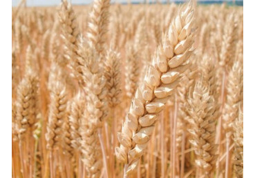Пшеница озимая Мулан
