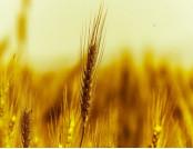 Пшениця озима Турандот