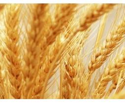 Пшеница яровая Куинтус