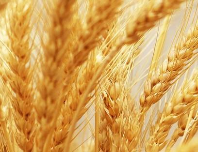 Пшениця яра Куінтус
