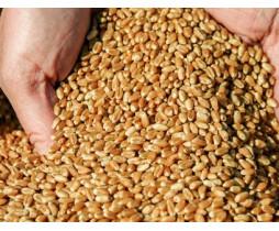 Пшеница озимая Лига Одесская